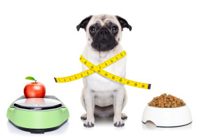 healthy pug dog beside a scale , bowl and measuring tape around waist isolated on white background